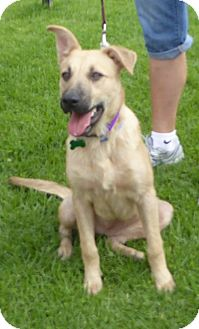 Shepherd (Unknown Type) Mix Dog for adoption in West Los Angeles, California - Izzy