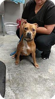 Pit Bull Terrier Mix Dog for adoption in Paducah, Kentucky - Hazel