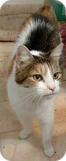 Calico Cat for adoption in Shelbyville, Kentucky - Chloe
