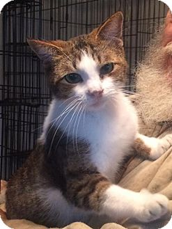 Domestic Shorthair Cat for adoption in Slidell, Louisiana - Rufus