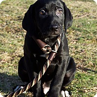 Labrador Retriever Mix Puppy for adoption in Milford, New Jersey - Nutmeg