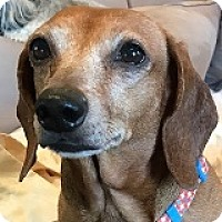 Adopt A Pet :: Chloe Coulis - Houston, TX