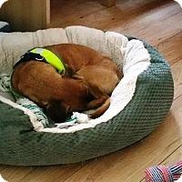 Adopt A Pet :: LOUIE - Jackson, NJ