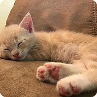 Adopt A Pet :: Gnocchi - Gainesville, FL