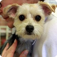 Adopt A Pet :: Norma - Waco, TX