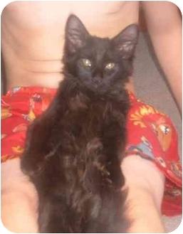 Domestic Mediumhair Kitten for adoption in Bedford, Massachusetts - Salem