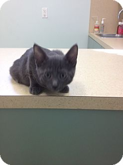 Russian Blue Kitten for adoption in Ft. Lauderdale, Florida - Mandy