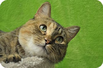 Domestic Shorthair Cat for adoption in Foothill Ranch, California - Rachel