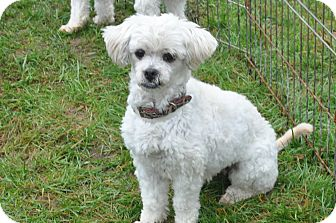 Miniature Poodle Mix Dog for adoption in Tumwater, Washington - Rain