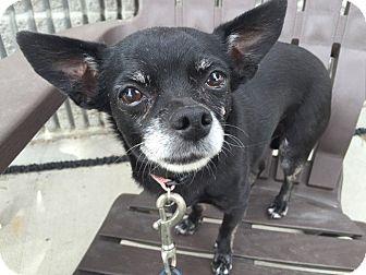 Chihuahua Mix Dog for adoption in Meridian, Idaho - Bambi