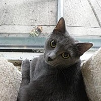 Domestic Shorthair Cat for adoption in Anderson, Indiana - Tesla