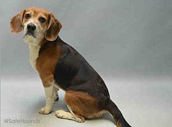Beagle Dog for adoption in Blairstown, New Jersey - Potter