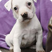 Adopt A Pet :: Persephone - Knoxville, TN