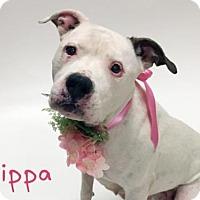 Adopt A Pet :: *PIPPA - Sacramento, CA