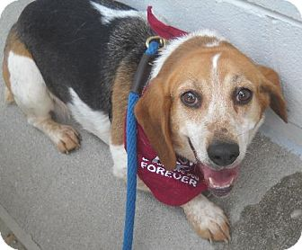 Beagle Mix Dog for adoption in Ashland, Virginia - Evette