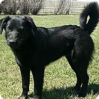 Labrador Retriever/Golden Retriever Mix Dog for adoption in Eldora, Iowa - Ava/adopted
