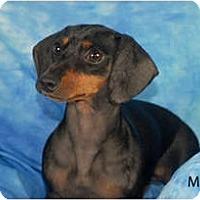 Adopt A Pet :: Mazee - Ft. Myers, FL