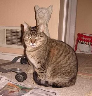 Domestic Shorthair Cat for adoption in Westminster, Maryland - Amber