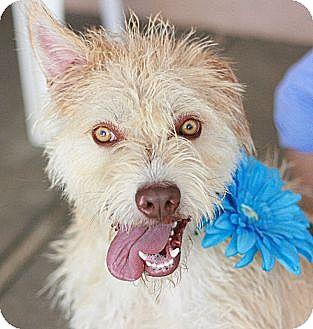 Wheaten Terrier/Terrier (Unknown Type, Medium) Mix Dog for adoption in Canoga Park, California - Tanner