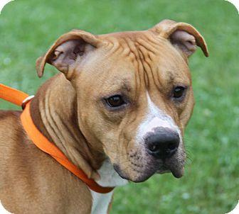 Pit Bull Terrier Mix Dog for adoption in Marietta, Ohio - Diesel (Neutered)