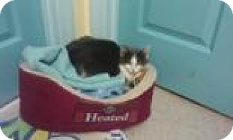 Domestic Mediumhair Cat for adoption in Maryville, Tennessee - Skylar