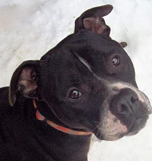 American Staffordshire Terrier/Pit Bull Terrier Mix Dog for adoption in Binghamton, New York - Ross