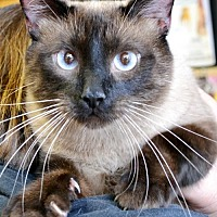 Siamese Cat for adoption in Horn Lake, Mississippi - Apollo