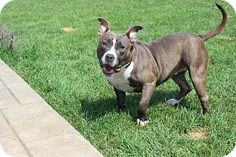 American Staffordshire Terrier/American Pit Bull Terrier Mix Puppy for adoption in Shrewsbury, New Jersey - Lucy