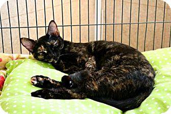 Domestic Shorthair Cat for adoption in Killeen, Texas - Jazz