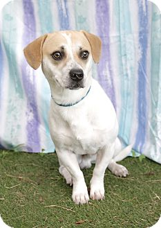 Beagle Mix Dog for adoption in Umatilla, Florida - Hensen