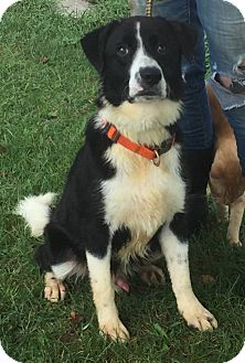 Border Collie Mix Dog for adoption in Texico, Illinois - Chance