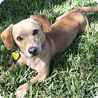 Adopt A Pet :: Chance - I love to play! - Los Angeles, CA