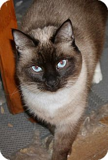 Siamese Cat for adoption in Cottonwood, California - Pippa