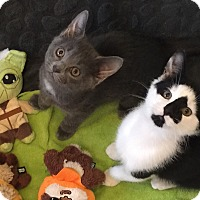 Adopt A Pet :: Baby Luke and Princess Leia - Harrison, NY