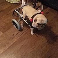 Adopt A Pet :: Bianca - Austin, TX