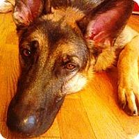 Adopt A Pet :: Schotzie - Knoxville, TN