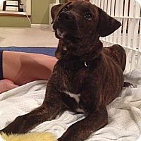 Adopt A Pet :: Baby Pirate - Marlton, NJ
