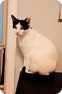 Domestic Shorthair Cat for adoption in Whitestone, New York - Ramona