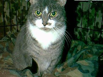 Domestic Shorthair Cat for adoption in Winchendon, Massachusetts - Jazzy
