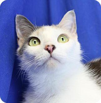Domestic Shorthair Cat for adoption in Winston-Salem, North Carolina - Valentina