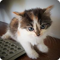 Adopt A Pet :: Callie - Lighthouse Point, FL