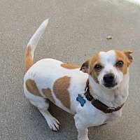 Jack Russell Terrier/Dachshund Mix Dog for adoption in Lomita, California - Wally
