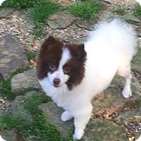 Adopt A Pet :: Clancey - Westport, CT