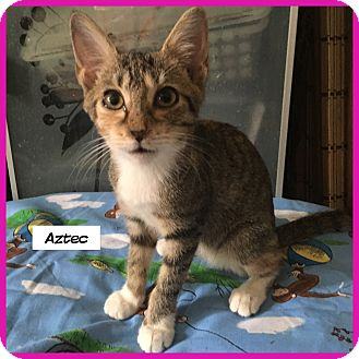 Domestic Shorthair Cat for adoption in Miami, Florida - Aztec