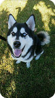 Siberian Husky Dog for adoption in Sugar Land, Texas - Loki2