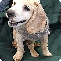 Cocker Spaniel Mix Dog for adoption in Sacramento, California - Kallie