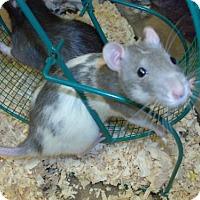 Adopt A Pet :: 1705-1631 Tori - Virginia Beach, VA
