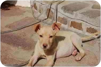 Labrador Retriever/Terrier (Unknown Type, Medium) Mix Puppy for adoption in Chula Vista, California - Ashley