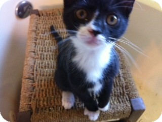 American Shorthair Kitten for adoption in Weatherford, Texas - Starling