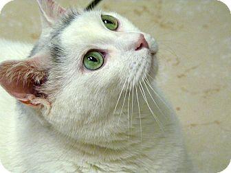 Domestic Shorthair Cat for adoption in Chicago, Illinois - Hugo